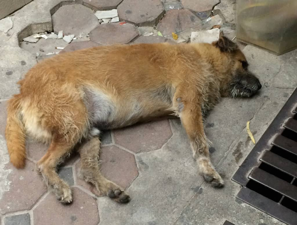 Don't Pet the Street Dogs in Thailand