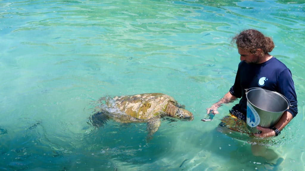The turtles at Te Mana O Te Moana are precious. Here is a trainer feeding the injured turtle. This is one of the best things to do in Moorea.