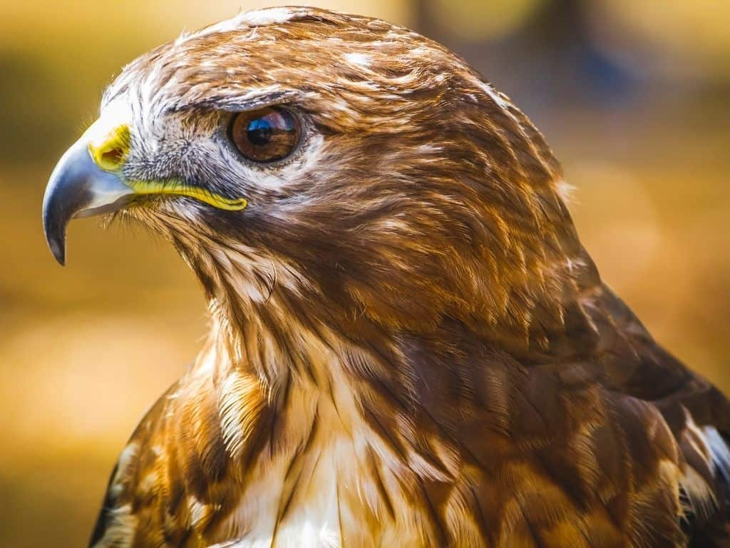 A falcon at The World Center For Birds of Prey