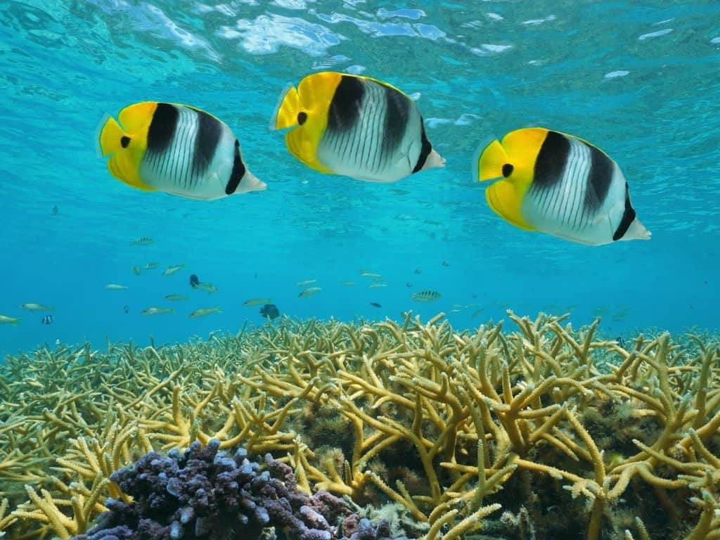 Black, white, and yellow fish above lush coral in the lagoon of the French Polynesia.