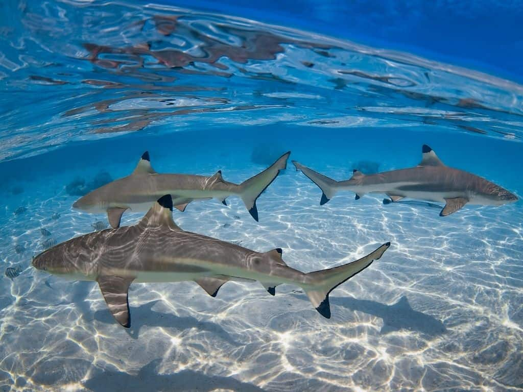 Did you know that the sharks that surround Moorea are actually quite tame? It's true! One of the best things to do in Moorea is swim with the black tip reef sharks and get up close and personal.
