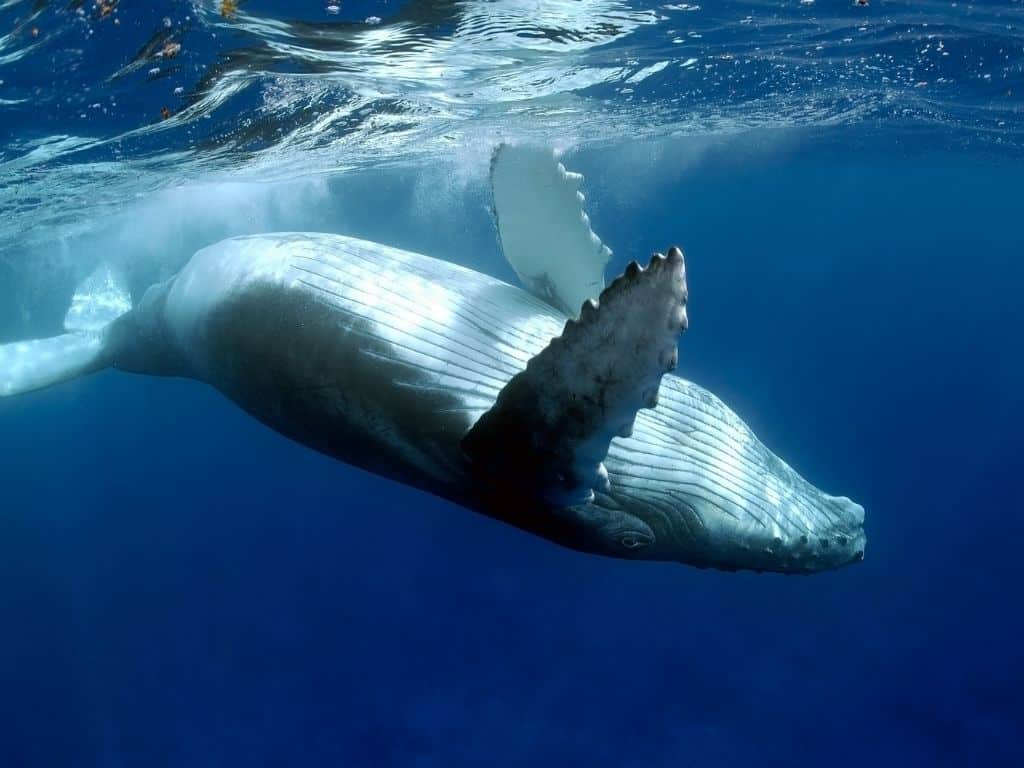 By far the best thing to do in Moorea is swimming with humpback whales. This mother whale is one of many that migrates to the South Pacific each year to give birth.