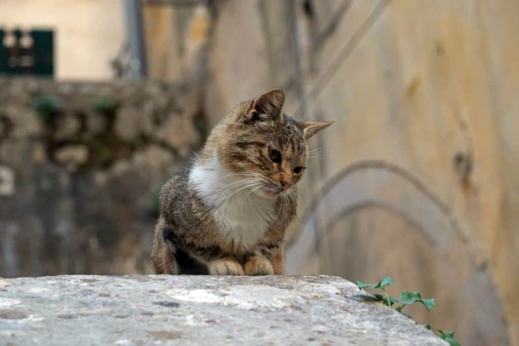 Cats in Old Town Kotor
