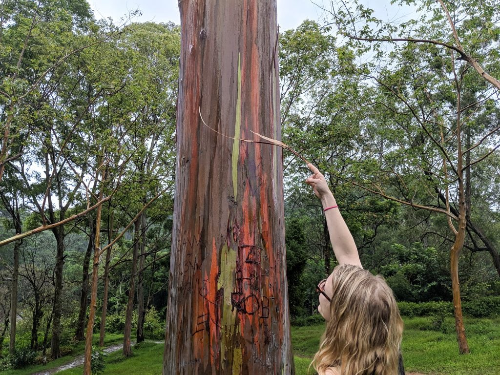 Eucalyptus Trees In Kauai; One of the Most Unique Things To Do In Kauai.
