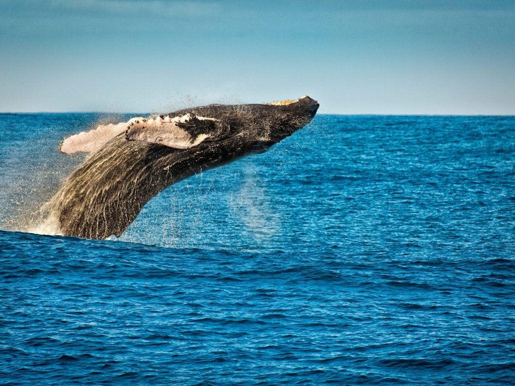 A Humpback Whale Jumping out of the Ocean Near Kauai.