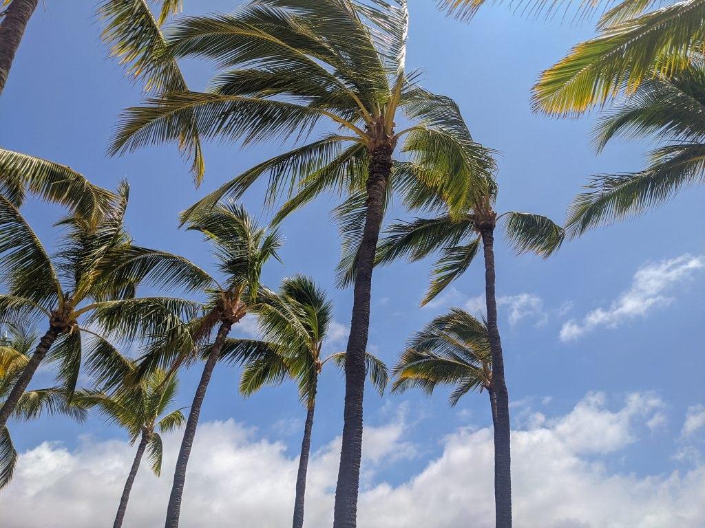 Palm Trees In Kona, Hawaii With Blue Skies Behind.