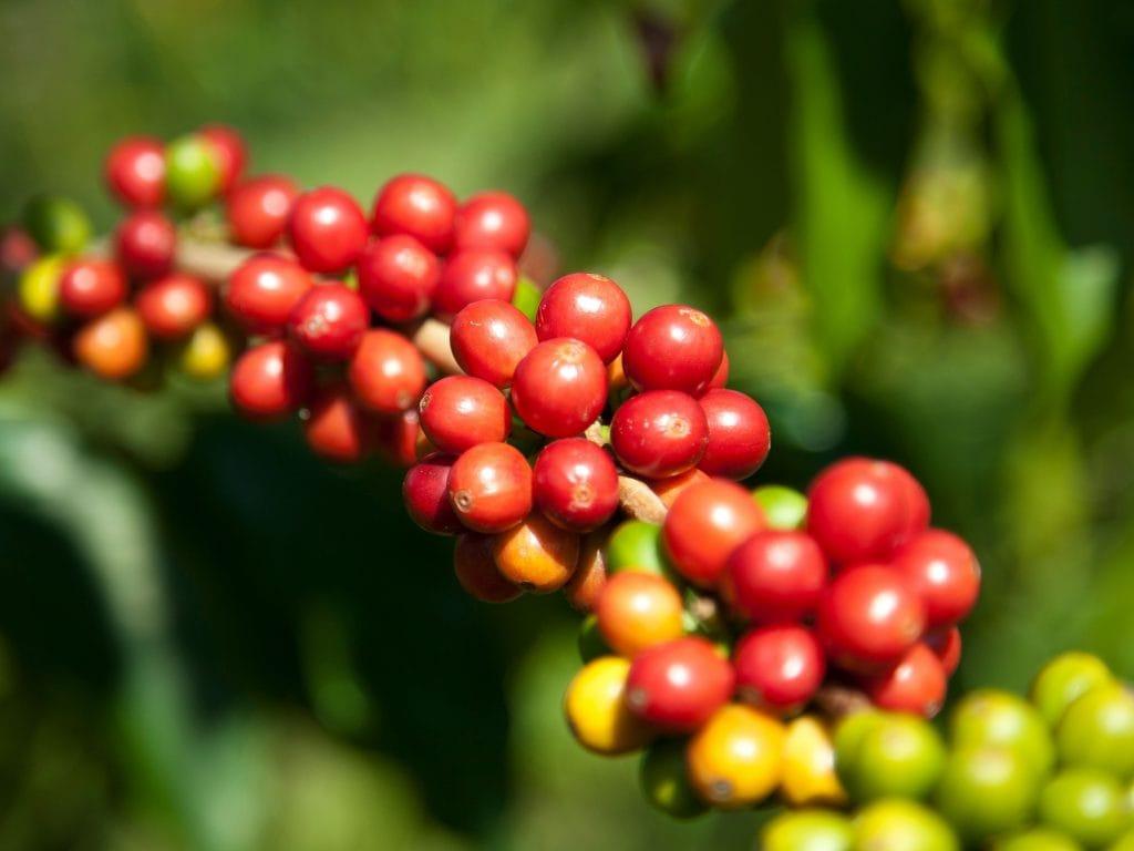 Coffee Beans At Kona Coffee Company.