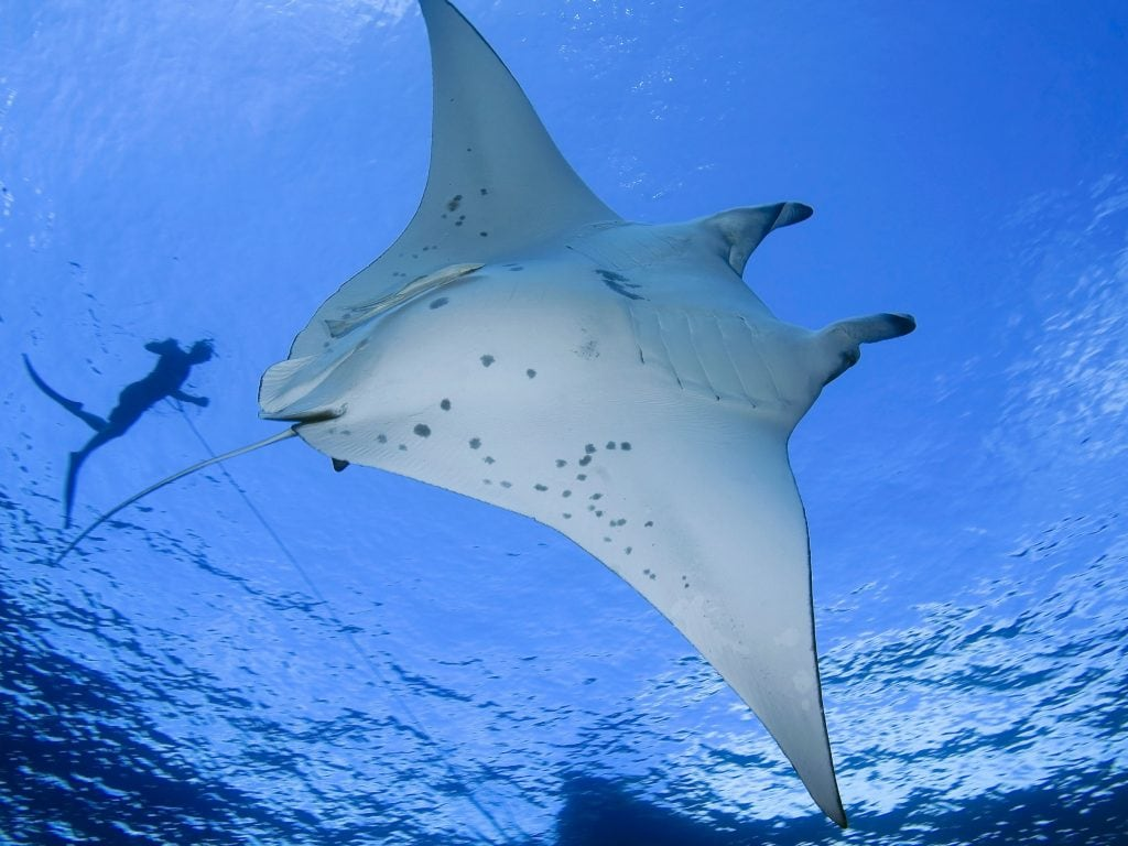 Scuba Diving With Manta Rays At Night On The Big Island of Hawaii.