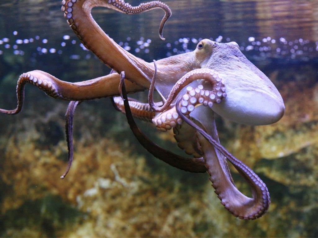 An Octopus In A Tank.