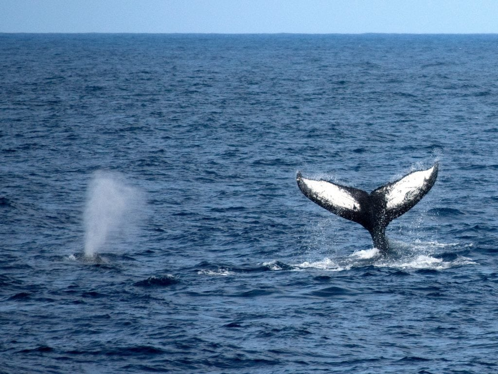 Two Whales In The Ocean Surrounding The Big Island of Hawaii; One Whale's Tail And Another Whales Blower.