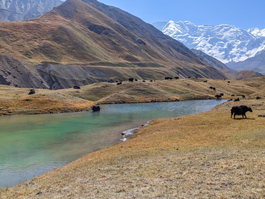 Yaks Standing In The Water In Kyrgyzstan; One of the Reasons Why It Isn't Safe To Drink From Lakes and Streams.